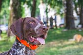 Dog Breed  German Shorthaired Pointer With A Lovely Gaze. Portrait Of A Dog Close-up poster