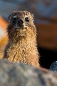Curious Looking Hyrax Animal