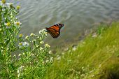 A Monarch Butterfly (danaus Plexippus) Sips Nectar From A Frost Aster (symphyotrichum Pilosum), Also poster