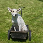 Serious And Cautious Young Mixed Breed White Dog Waiting Master Would Drive This Cool Canine Taxi -  poster