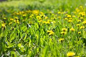 Field Of Yellow Dandelions Close-up. Yellow Wildflowers. Seasonal Dandelions, Spring Season. poster