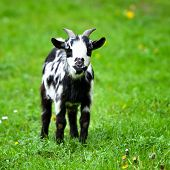 Black And White Baby Goat Standing On Green Lawn poster