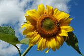 Sunflower In Blue Sky