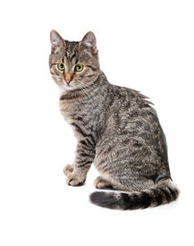 picture of tabby-cat  - Striped kitten with white speck - JPG