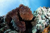 Octopus on the reef