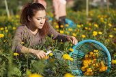 Young woman harvesting Marigold flowers, Mae Sot, Thailand