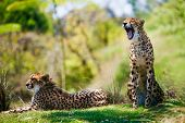 Two Wild african cheetahs relaxing in the grass