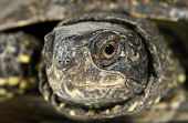 Macro de olho tartaruga tartaruga terrapin