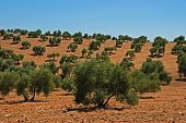 Olive grove, Andalusia, Spain.
