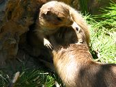 small gophers
