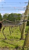 Dutch Vinyard In The Spring