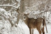 Big Whitetail Buck Deer In Snow