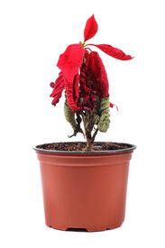 picture of defloration  - wilted red flower in a flowerpot on white background - JPG