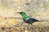 Marico Sunbird - Wild Bird Background from Africa - Emerald Greens