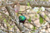 Marico Sunbird - Wild Bird Background from Africa - Greens of Emerald and Beautiful Plumage