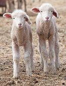 Lamb Twins