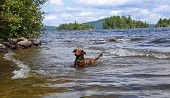 stock photo of moosehead  - Small dachshund playing by the shallows in Moosehead Lake - JPG