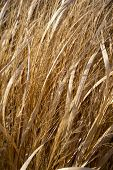 image of dry grass  - Dry Grasses  - JPG