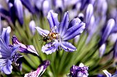 Bee Leaving Agapanthus Flower