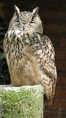 Eurasian Eagle-owl - Eagle Owl