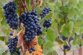 Pinot Noir Grape Clusters