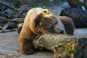 Bear Nap