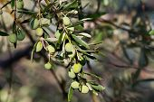 Young Olives On A Branch After Rain