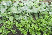 Cabbage and Celeriac