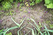 Plums on the Ground
