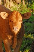 stock photo of calf  - Angus cross beef cattle in a small field near Eugene Oregon  - JPG