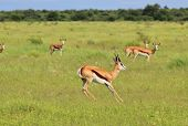 Wildlife Background - Springbok - Gallop of Green