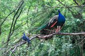 image of coexist  - On a branch of a tree the peacock and a pigeon sit  - JPG