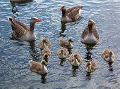 Greylag Goose Family 1