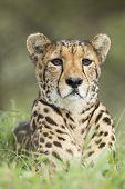 Female Cheetah (acinonyx Jubatus) South Africa