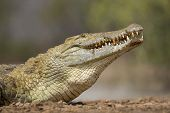 stock photo of crocodiles  - Nile Crocodile at the water edge close up South Africa - JPG