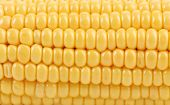 foto of corn-silk  - Background of corn grains - JPG