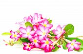 pic of desert-rose  - Colorful red flower Desert Rose - JPG