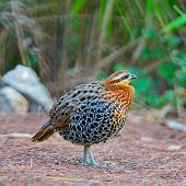 Male Mountain Bamboo Partridge