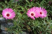 Mesembryanthemum flower