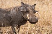 stock photo of dry grass  - Old warthog standing in dry grass looking for something green to eat - JPG