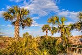 image of saw-palmetto  - Palmetto trees and saw ferns set against a Carolina blue sky - JPG