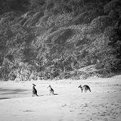 Kangaroos Black And White