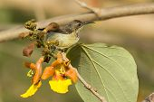 Female Beautiful Sunbird Perched On A Cluster Of Yellow Flowers