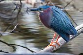 Green Heron (butorides Virescens) Perched On A Downed Log Soft Focus