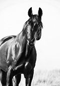 Portrait Of Wonderful   Bay  Sportive  Stallion In The Meadow.