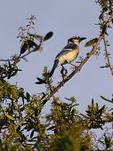 Brilliant Blue Jay up in a Tree