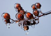 stock photo of crepe myrtle  - Ice forming from the buds on a crape myrtle starting for form icicles - JPG