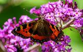 A beautiful Tortoiseshell Butterfly