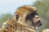 Macaque, Monkey Portrait, Gibraltar. Boar Primates In The Wild.