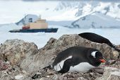 Gentoo Penguin Sitting In The Nest And Icebreaker In The Background
